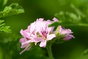 Rose Geranium Flower Garnish 5x8 clamshell