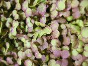 Micro Red Mustard