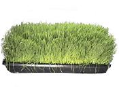 A tray of wheatgrass cut and bagged for reduced shipping cost